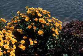 Caltha palustris : marsh marigold, in lake