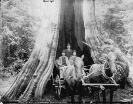 [Three men in carriage backed into the Hollow Tree at Stanley Park]