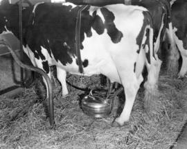 Frasea Louise Wayne Being Milked the Modern Way by Sanitary Milking Machine Where the Milk Does N...