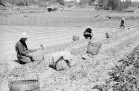 [Chinese vegetable gardeners harvesting produce]