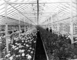 [Interior of greenhouse with chrysanthemums in full bloom; Brown Bros. Florists]