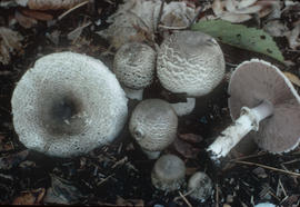 A[garicus] meleagris, Agaricus placomyces; Lt.Mt.-W. flat-top Ag. poisonous