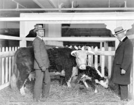 [Mayor L.D. Taylor inspecting bull and calf, possibly at the Canadian Pacific Exhibition]