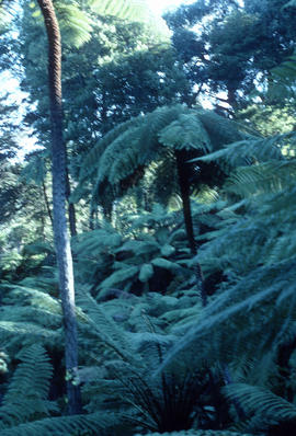 Cyathea medullaris at Golden Gate Park