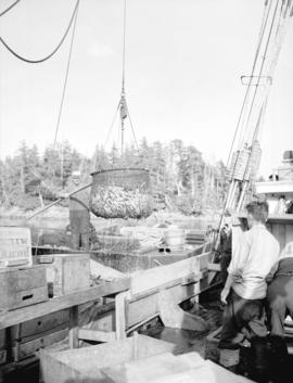 Scoop of herring [being unloaded from fishing boat]
