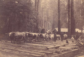 [Team of oxen on skid road at Hastings Sawmill Camp in Kitsilano]
