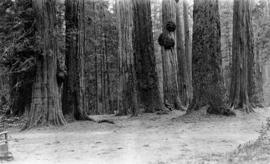 Grove of cedars and firs, Stanley Park
