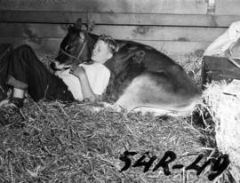 Boy resting with Jersey cow in Livestock building stall
