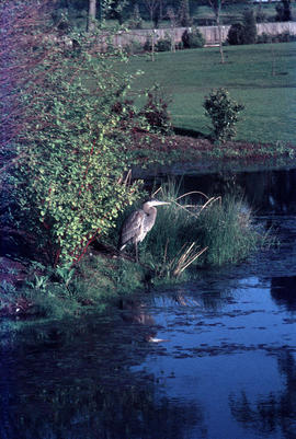 Wildlife : Great Blue Heron