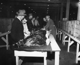 Turkeys being examined in poultry competition