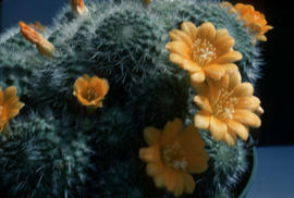 "Cacti and Succulents : Rebutia : ""lemon queen"" flowers - distance"