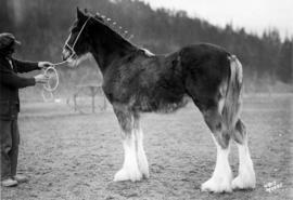 Queen o' the May : [draft horse with handler]