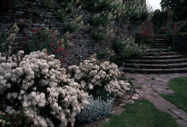 Landscape - bedding and borders : Olearia scilloniensis and Valeria[na?] at Hestercombe
