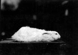 Light-colored rabbit in pet stock competition