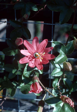 Passiflora jamesonii [at] Berkeley, CA. Nursery