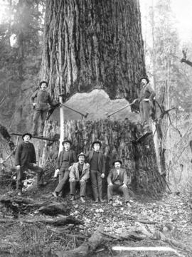 "[Loggers and men with] 9'6"" [tree]"