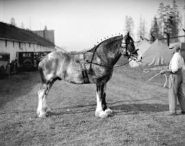 Champion Clydesdale, Vancouver Exhibition