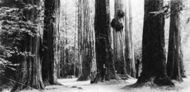 [Couple standing among the trees referred to as the] Seven Sisters, Stanley Park