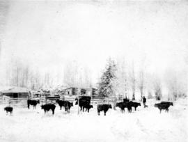 Peace River [cattle in snowy field]