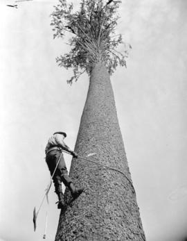 [Logger climbing a tree on the Queen Charlotte Islands]