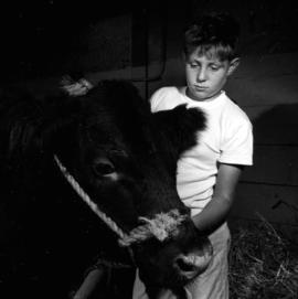 Boy with cattle