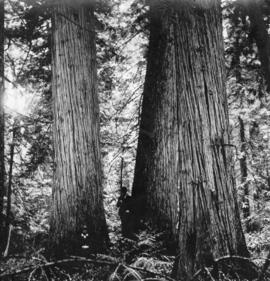 [Two men at the foot of large trees]